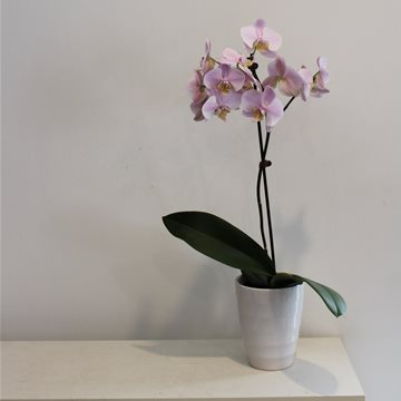 phalaenopsis orchid plant pink