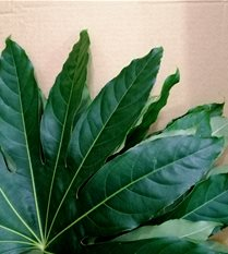 aralia leaves
