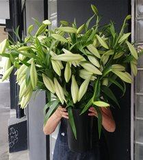 Longiflorum Christmas Lilies