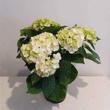 hydrangea - potted