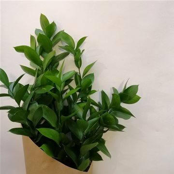 ruscus foliage