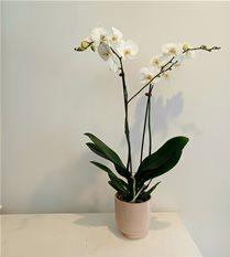 phalaenopsis orchid plant white - DOUBLE STEM