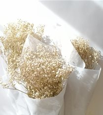 Gypsophlia - DRIED