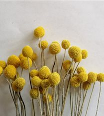 craspedia - billy buttons