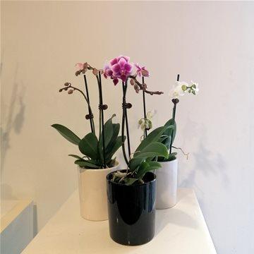 miniature phalaenopsis orchid plant WHITE