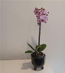 magenta pink phalaenopsis orchid plant