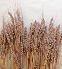 wheat - blush dyed