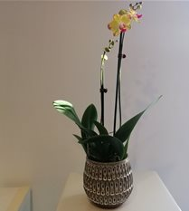 yellow pink phalaenopsis orchid plant