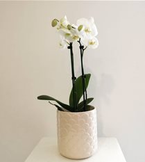 phalaenopsis orchid plant white