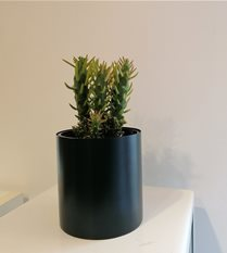 cacti in Jade planter