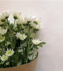 chrysanthemum - spray - white